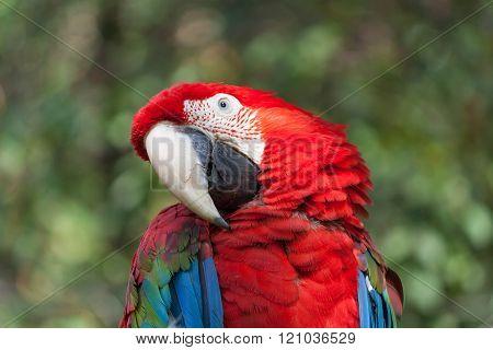 Ara Parrot Detail