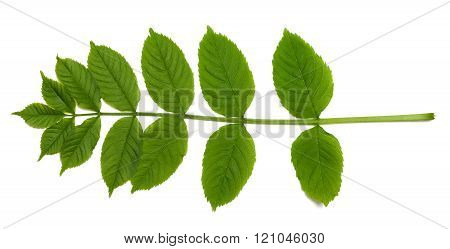Spring Sorbus Leaves