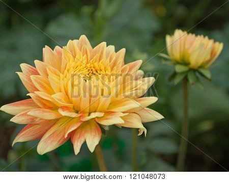 Dahlia flower growing on bed in the garden