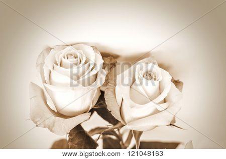 Two white delicate roses on sepia photo