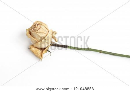 One white dead rose isolated on white
