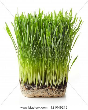 Young Wheat Grass