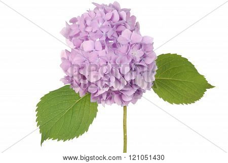 Purple Flower Hydrangea (clipping Path)