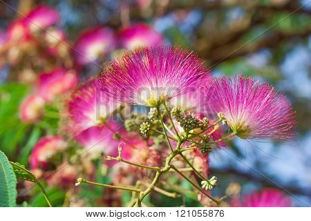 Albizia Julibrissin With Pink Flowers