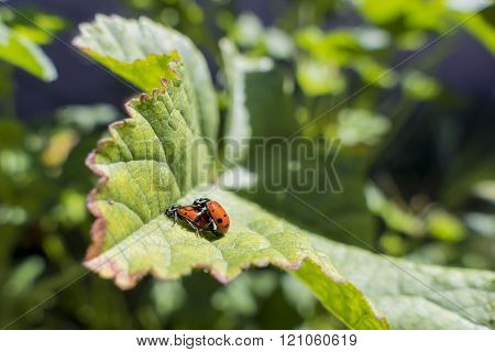 A Pair Of Ladybird Beetles Mating On A Leaf In Spring