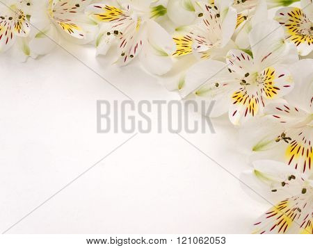 Tender Alstroemeria Flowers