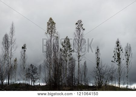Trees After Fire