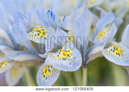 Bunch of blue mini irises. Selective focus.  ** Note: Shallow depth of field