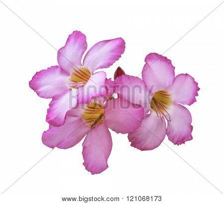 Three Pink Plumeria Flowers Isolated