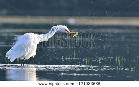 Large Egret while fishing
