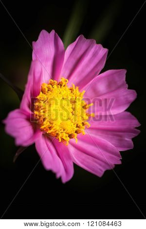 Close up of pink beauty cosmos flower over dark tone. Low key picture style.