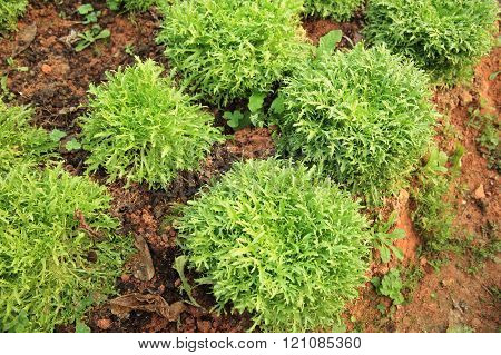 green ruccola plants in growth at garden