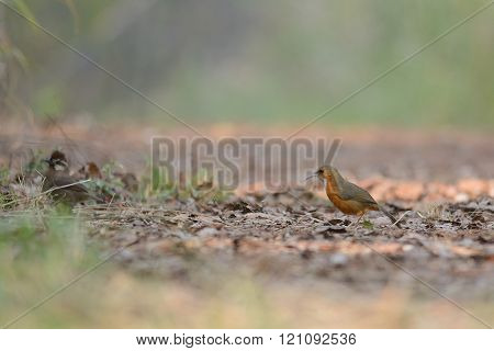 Rusty-cheeked Scimitar-Babbler, Bird on ground