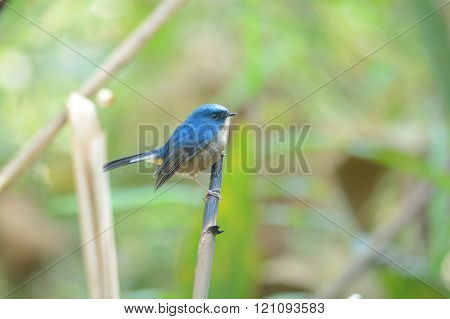 Slaty-blue Flycatcher (bird Perching On Branch)