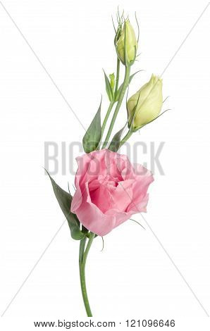 Beauty  Pink Flower With Buds Isolated On White. Eustoma