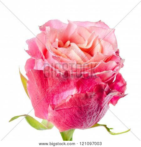 Close Up Of Abstract Romantic Beautiful Red And Pink Rose Flower Is Isolated On White Background