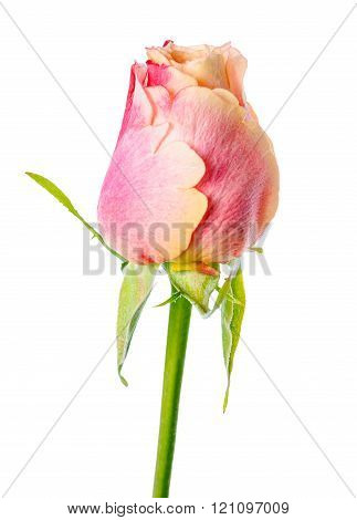 Close Up Of Abstract Romantic Beautiful Yellow And Pink Rose Flower Bud Is Isolated On White Backgro