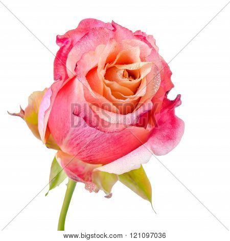 Close Up Of Abstract Romantic Beautiful Pink And Orange Rose Flower With Dew Is Isolated On White Ba