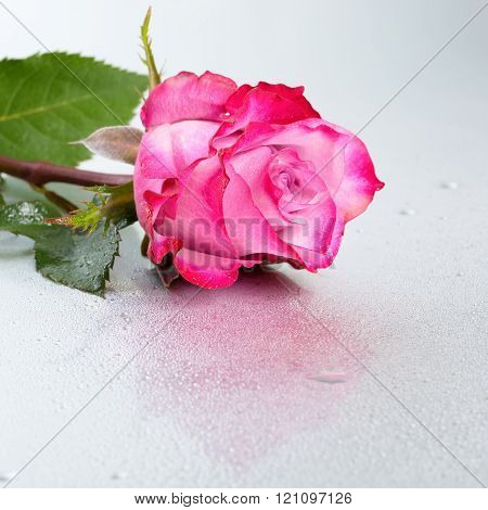 Beautiful Red Rose Flower On Light Background With Dew And Reflection, Close Up