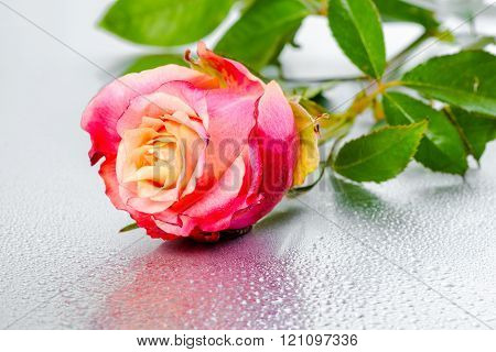 Beautiful Pink Rose Flower On Light Background With Drops, Close Up
