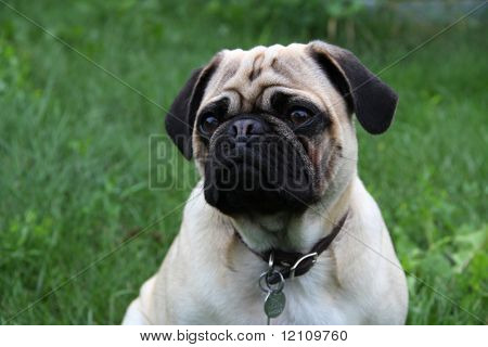 Purebred Pug Pup  on grass background