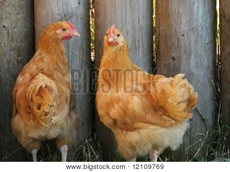 Road Island Red Hens