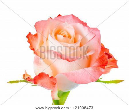 Close Up Of Abstract Romantic Beautiful Orange Rose Flower Is Isolated On White Background