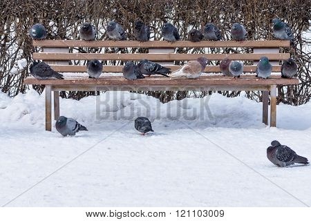 Pigeons In Winter Park On A Bench And Snow