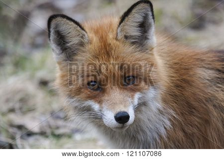 close up of the face of a begging fox