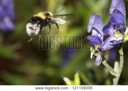 bumble bee in flight