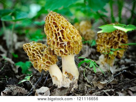 Morel Mushrooms Grows In Forest (morchella Esculenta)