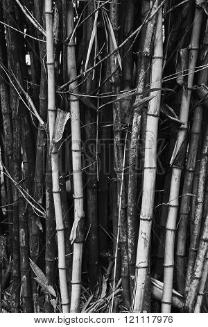 Bamboo Trees Texture Backgrouund, Black And White Photography