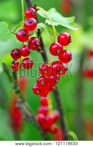 Branch Of Red Currant (ribes Rubrum)