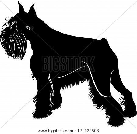 animal miniature schnauzer dog