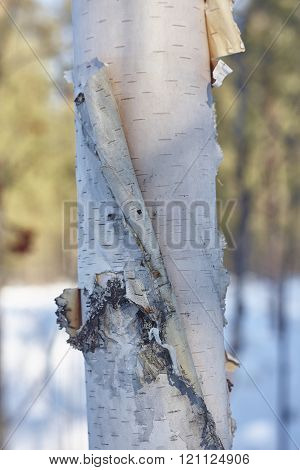 birch bark close up