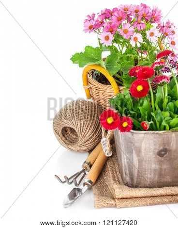 Garden flowers in wooden basket with tools. Isolated on white background