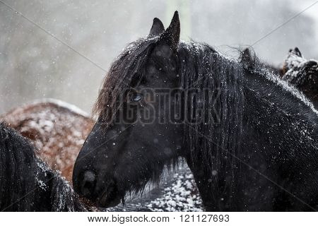 Portrait of a foal Friesian horse in winter
