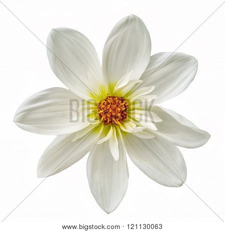 White Flower Dahlia Isolated