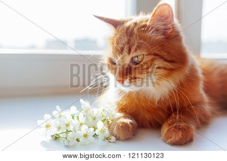 Ginger Cat Smells A Bouquet Of Cherry Flowers. Cozy Spring Morning At Home.