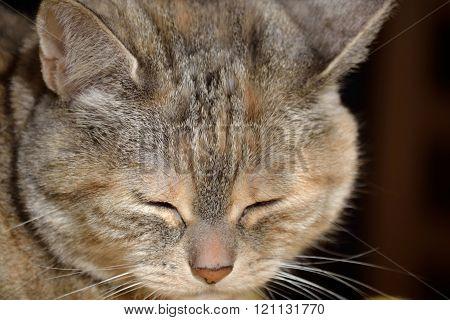 gray house cat sleeping - close up