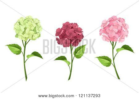 Pink, maroon and green hydrangea flowers. Vector illustration.