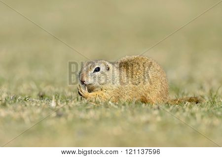 cute European ground squirrel on field (Spermophilus citellus)