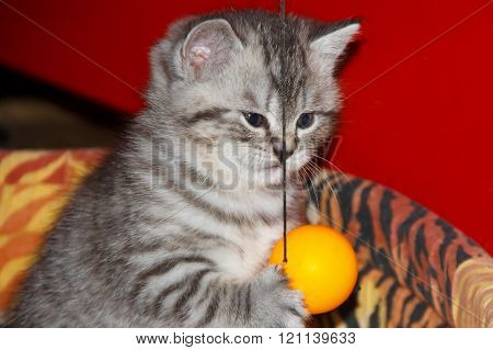 Playful striped kitten with a ball.