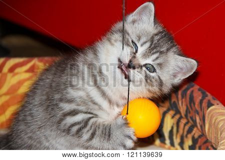 Striped kitten playing a ball on a string.