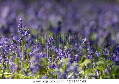 Common Bluebells(hyacinthoides Non-scripta)