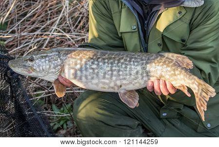 Northern Pike (esox Lucius) with fisherman