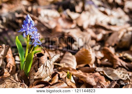Scilla Siberica. Siberian Squill. Wood Squill.