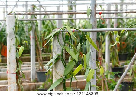 Vanilla cultivation farm