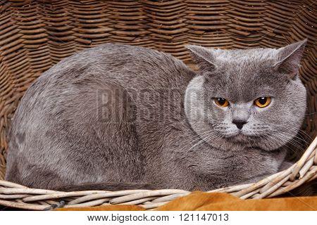 British Shorthair cat on a wooden basket