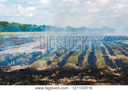 Burning Rice Field After Harvesting,  Burning Rice Straw For Farming New Rice